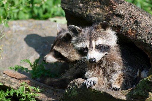 Raccoon, Animal, Zoo, Animal World, Wildlife Park