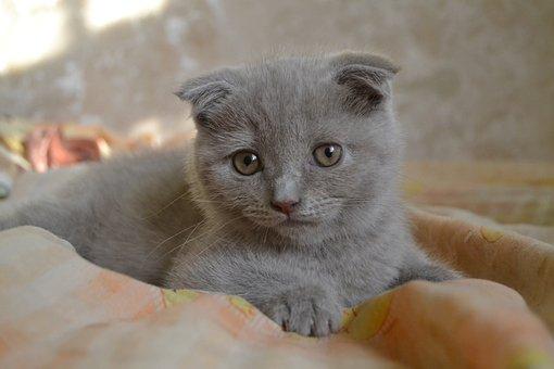 Scottish Fold, Scottish, Folded Ears, Cat, Animal