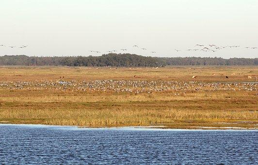 Cranes, Birds, Animal World, Nature, Flock Of Birds