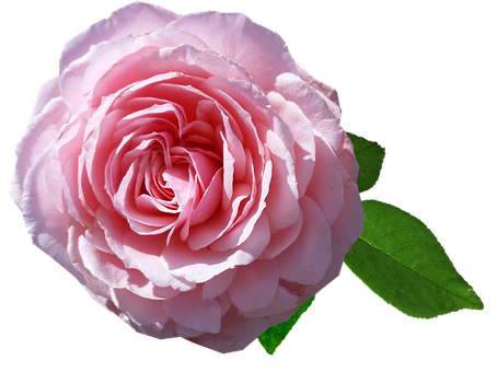 Flower, Pink, Rose, Fragrant, Romantic, Cut Out