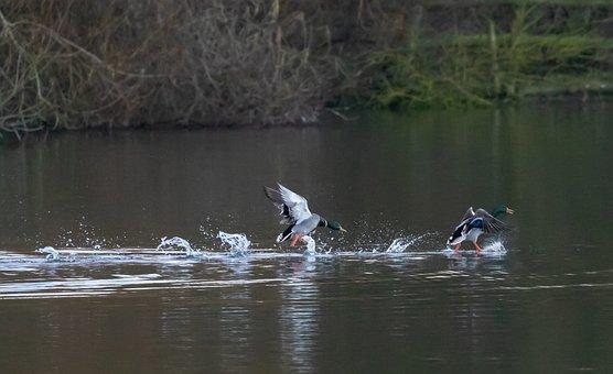 Ducks, Running N Water, Mallard, Water, Running
