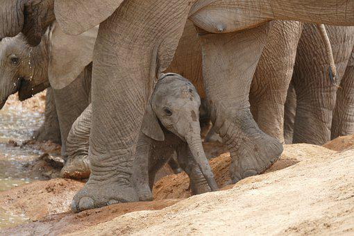 Elephant, Baby, Animal, South Africa, Pachyderm