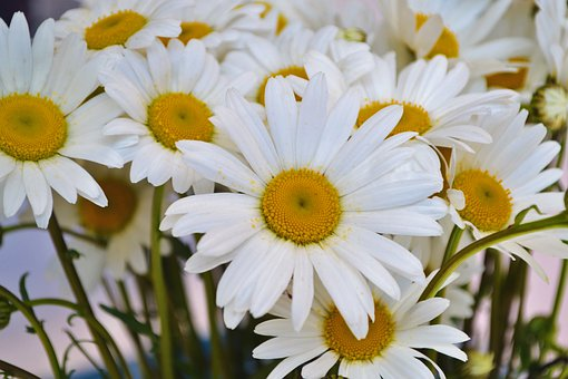 Chamomiles, Chamomile, Bloom, Flora, Flowers, Bouquet