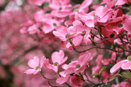 Spring, Dogwood, Flowers, Blooming, Floral, Flora, Tree