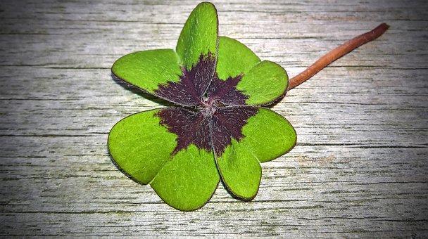 Klee, Four Leaf Clover, Lucky Clover, Plant
