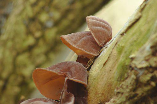 Judas Ear, Jews Ear, Wood Ear, Fungus, Log, Tree, Elder