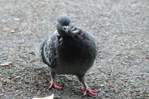 Pigeon, Bird, Irish, Ground, Sidewalk, Feed, Feathers