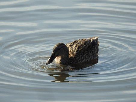 Duck, Nature, Bird, Lake, Water, Cute, Swim, Chicks