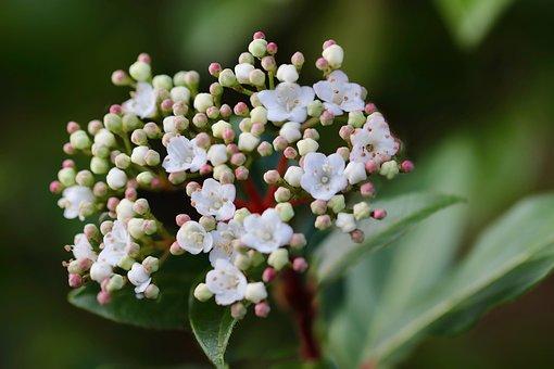 Laurel Snow Ball, Laurustinus, Laurel-leaf Viburnum