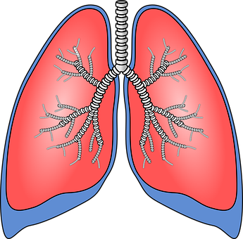 Lungs, Organ, Anatomy, Bronchia, Bronchial Tubes