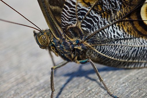 Butterfly, Insect, Macro, Close Up, Nature