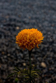 Marigold, Flowers, Marigold Flower, Plant, Yellow