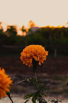 Marigold, Flowers, Marigold Flower, Plant, Yellow