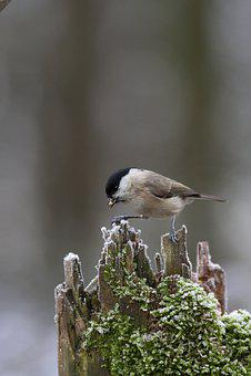 Red Craw, Bird, Birds, Vogel, Vögele, Nature, Animal