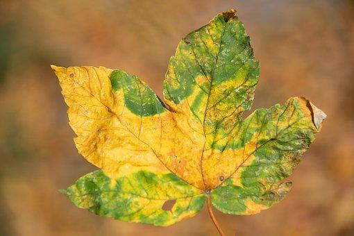Leaf, Autumn, Nature, Season, Colorful, Clone, Orange