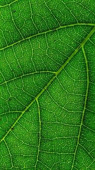 Leaf, Backlight, Sunlight, Fibers, Plant, Green