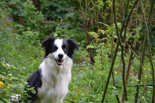 Herding Dog, Playful, Black And White, Border Collie