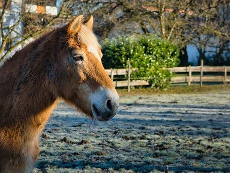 Head, Horse, Pony, Animal, Horse Head, Mane, Portrait