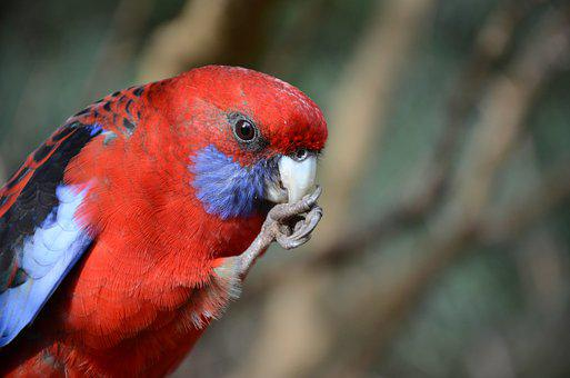 Rosella, Eastern, Red, Blue, Beak, Claw, Foot, Cute