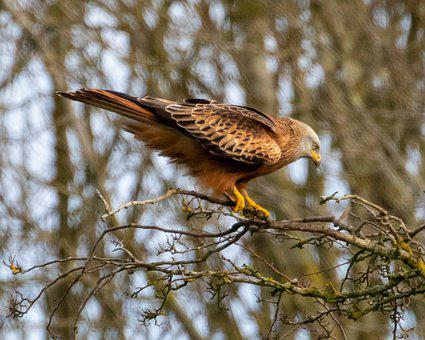 Red Kite In Tree, Red Kite Perched, Red Kite, Raptor