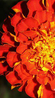 Marigold, Flower, Close-up, Red, Vibrant, Water Drops