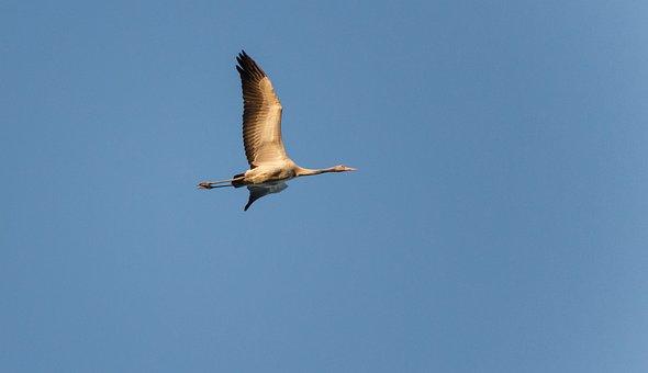Crane, Sky, Blue, Bird, Nature, Animal, Migratory Bird