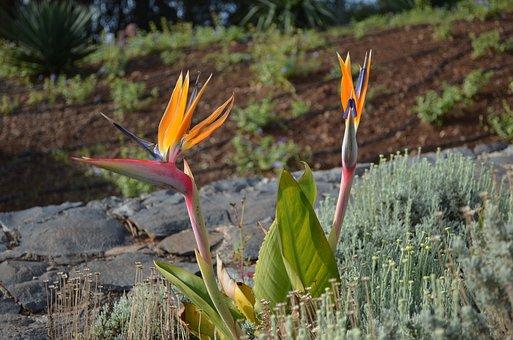 Madeira, Portugal, Strelizie, Flower, Nature, Exotic