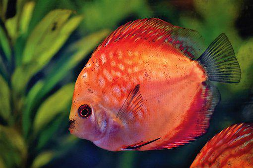 Discus Fish, Discus Cichlid, Fish, Toy, Aquarium, Swim