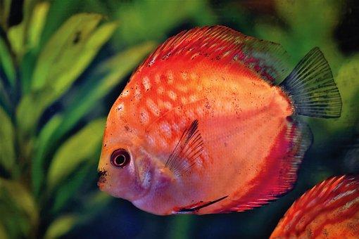 Discus Fish, Discus Cichlid, Fish, Toy, Aquarium, Swim