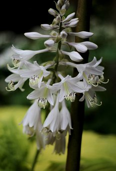 Hosta, Hartlelie, Flowers, White, Delicate, Stamens