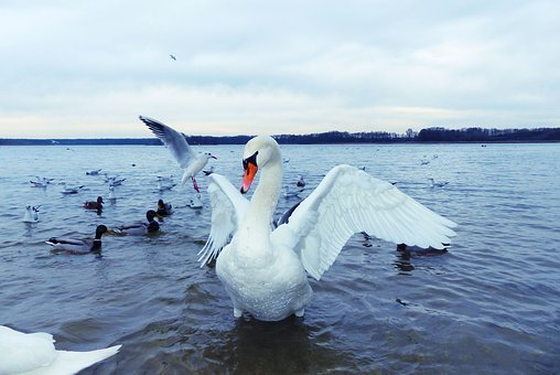 Mute Swan, Female, Water Bird, Wings, Pen, Ailerons