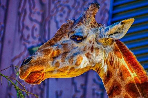 Giraffe, Wild, Animal, Nature, Zoo, Wildlife, Travel