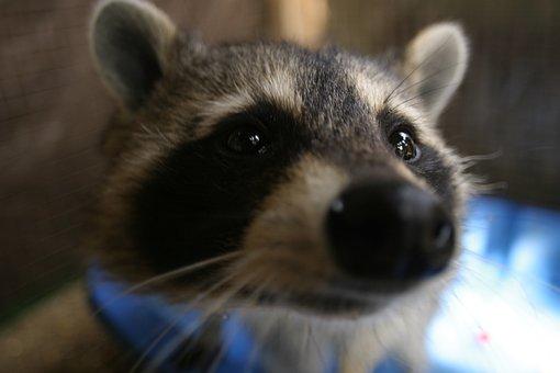 Animal, Mammal, Nature, Raccoon, Cute, Wildlife, Furry