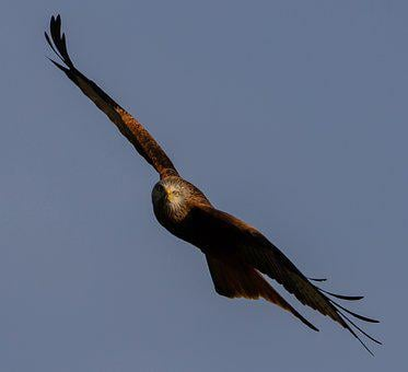 Red Kite, Flying, Soaring, Predator, Bird Of Prey