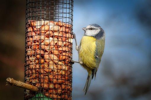 Tit, Food, Bird Seed, Eat, Close Up, Bird, Nature