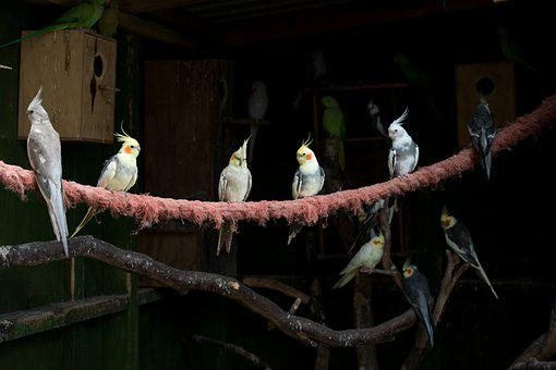 Cockatiel, Cockatiels, Birds, Perching, Parakeet