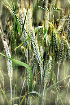 Cereals, Barley, Spike, Cornfield, Agriculture, Field