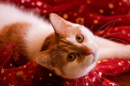 Cat, Red, Christmas, Cute, Kitten, Pet, Animal World
