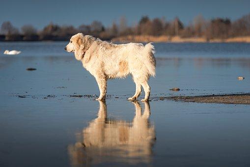 Dog, Lake, Majestic, Water, Pet, Large