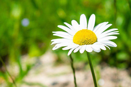 Flower, Margaretka, Chamomile, Margarétka, Meadow