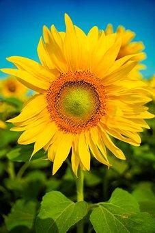 Flower, Sunflower, Nature, Sky, Landscape, Background