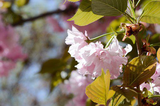 Cherry Blossom, Pink, Summer, Flower
