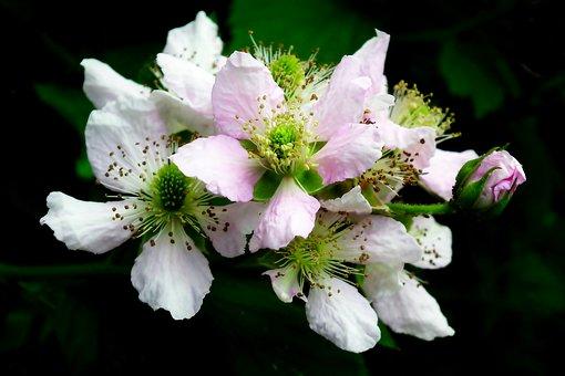 Blackberry, Bezkolcowa, Flowers, Nature, Closeup