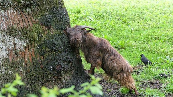 Animal, Ram, Horns, Ireland, Fur