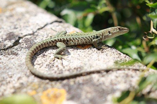 The Lizard, Gad, Animal, The Sun, Lake Dusia