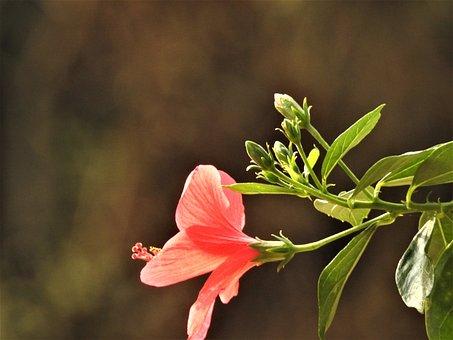 Bougainvillea, Flower, Garden, Nature