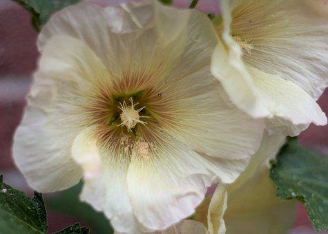 Alcea Kurdica, Hollyhock, A Pale Yellow, Pollen, Summer
