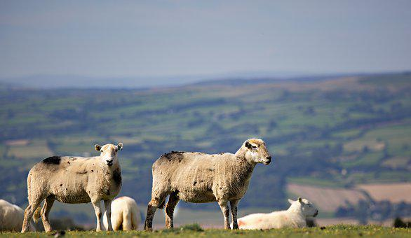Sheep, Animals, Lamb, Farm, Livestock, Rural
