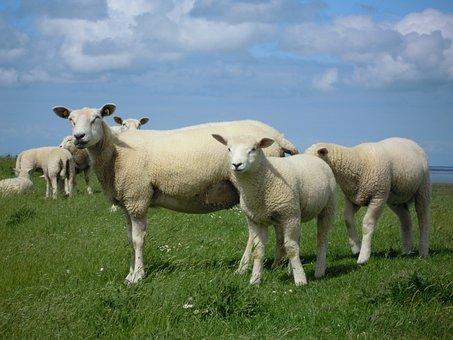 Sheep, Flock, Wool, Pasture, Rural, Landscape, Meadow