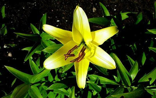 Lilies, Flowers, Yellow, Nature, Flourishing, Closeup